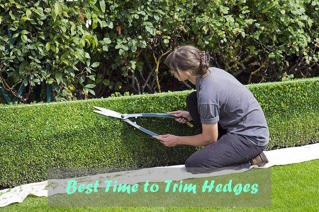 Best Time to Trim Hedges