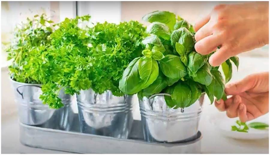 Can you Grow Herbs Indoors with Artificial Light