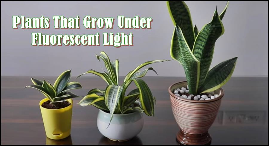 what Plants Grow under Fluorescent Light