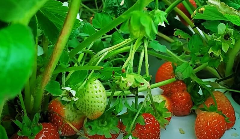 Strawberries indoor