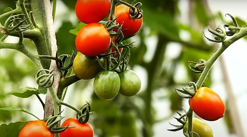 tomatoes indoor