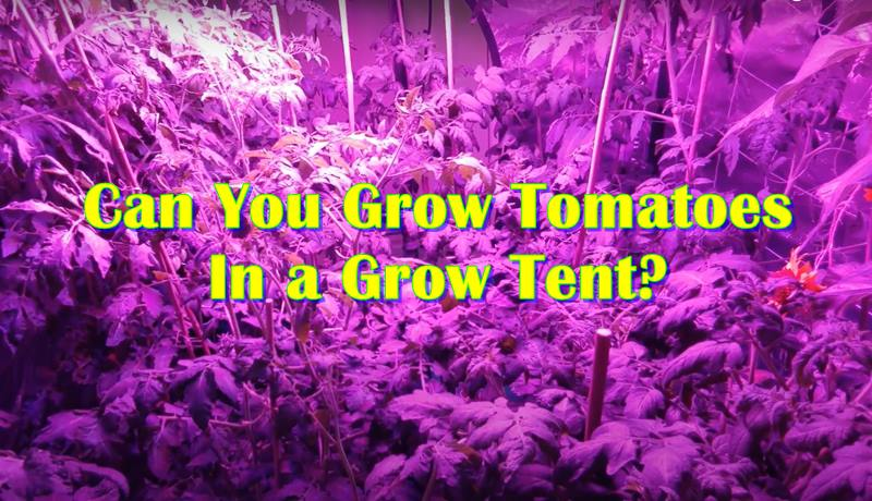 Can You Grow Tomatoes In a Grow Tent